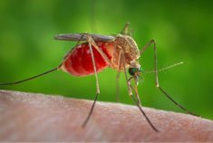First mosquitoes test positive for West Nile virus